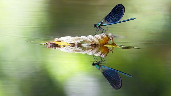 Calopteryx & reflet - Gerard Verdier