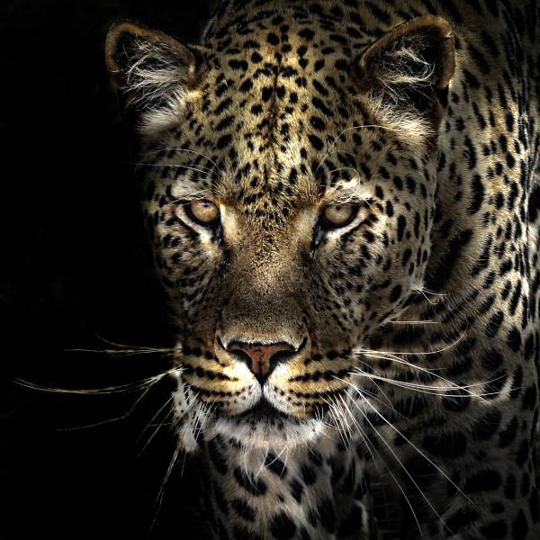 Leopard Namibien - Françoise Morio