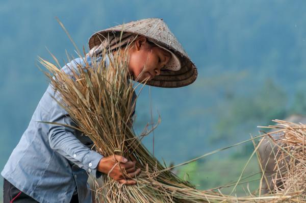 Gabriel Irailles - Récoltes en rizière