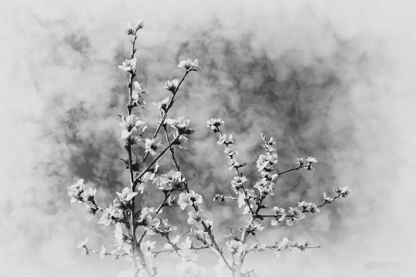 Fleurs de pêcher - Bruno Guillemin